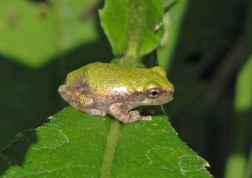 Treefrog on leaf